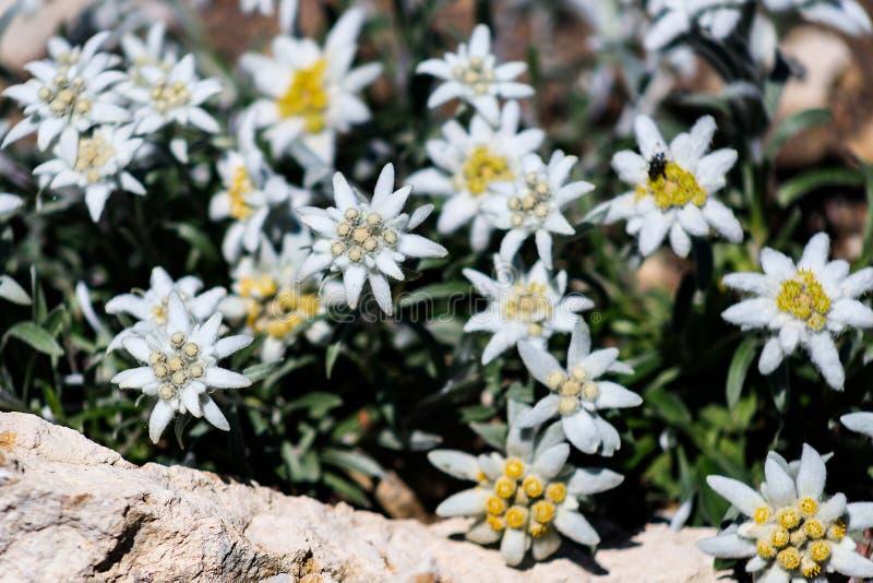 Eranthis hyemalis lub zima akonit, niezwykły ogród - rozmaitości zimy Śnieżna filiżanka z białymi puszystymi kwiatami fotografia stock