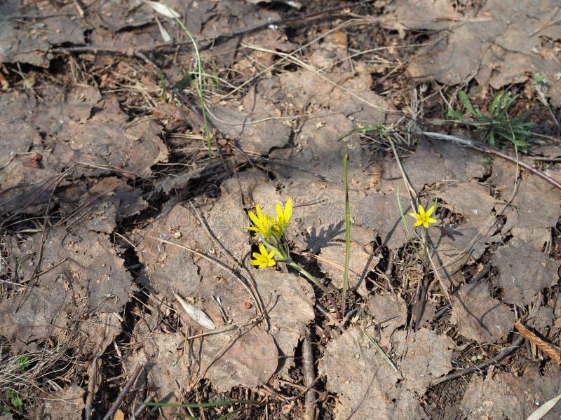 Eranthis Premi?res primev?res jaunes lumineuses en clairi?re de for?t Concept des saisons, temps, ressort photo libre de droits