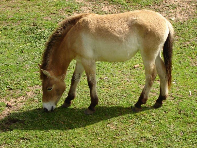 Erba 1 di coltivazione del cavallo di Przewalski fotografia stock libera da diritti