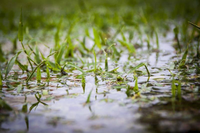 Erba in acque di inondazione immagini stock