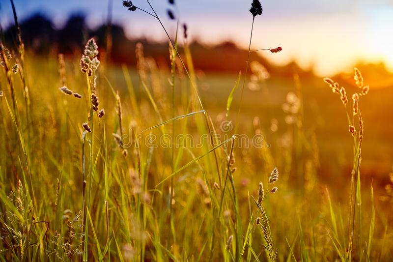 Erba alta verde e tramonto fotografie stock