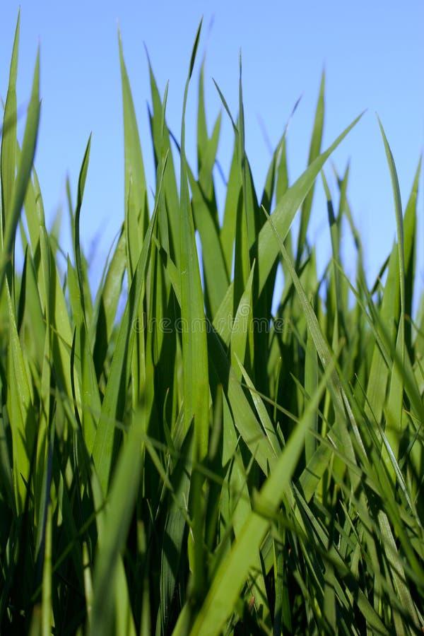 Erba alta verde fresca della sorgente fotografie stock
