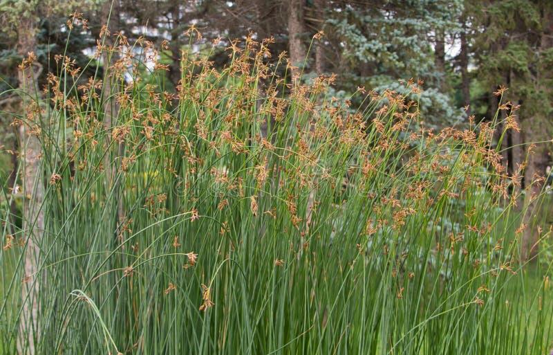 Erba altamente decorativa con i semi nel parco immagini stock