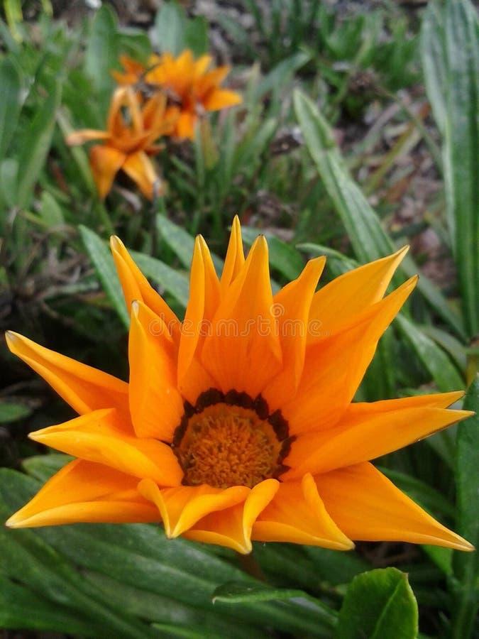 Erba arancio del fiore fotografia stock libera da diritti