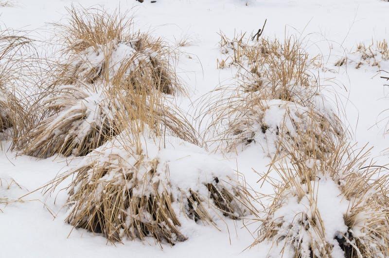 Erba asciutta di Snowy nell'inverno immagini stock