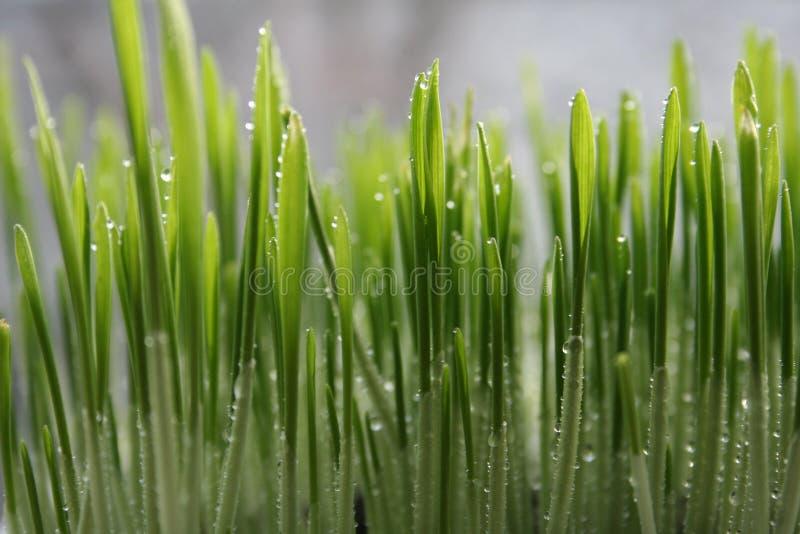 Download Erba bagnata fotografia stock. Immagine di verde, sviluppisi - 7323494