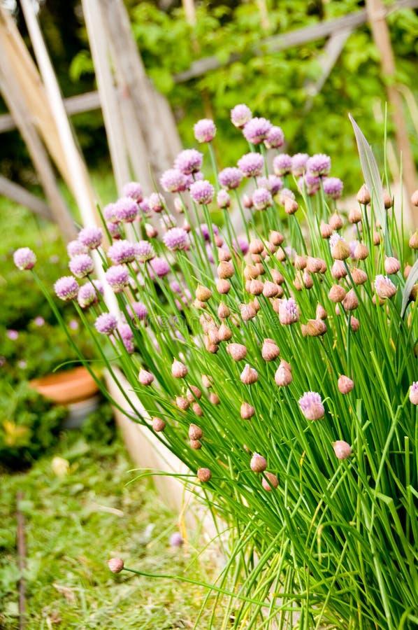 Erba cipollina nel giardino di erba fotografie stock