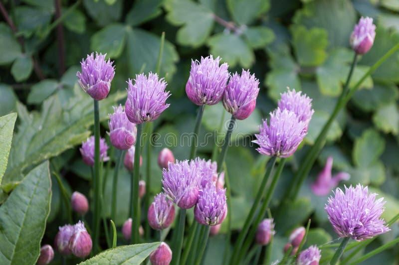 Erba cipollina porpora pallida commestibile che fiorisce in primavera Erba culinaria immagine stock libera da diritti
