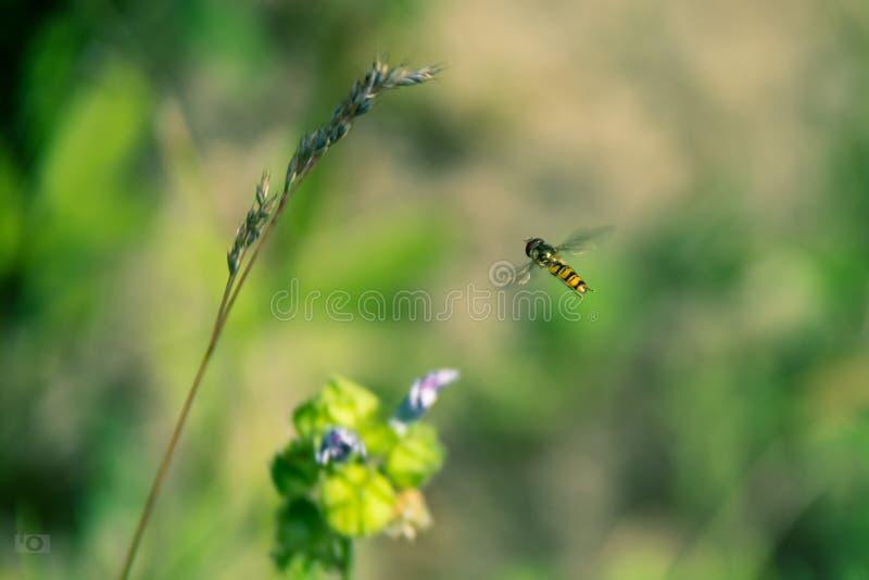Erba con la mosca giallo-nera di volo immagine stock libera da diritti