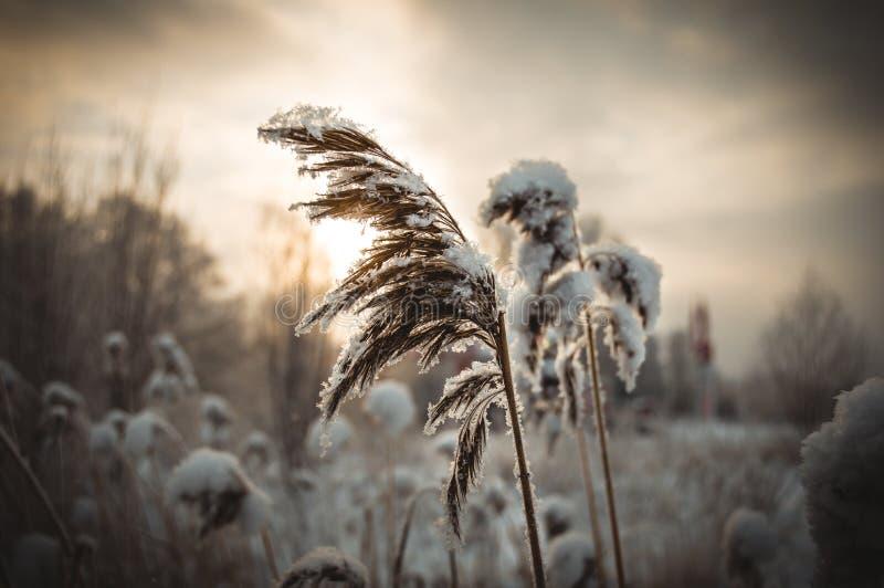Erba congelata fotografia stock libera da diritti
