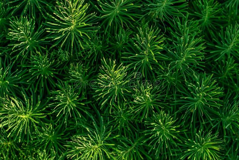 Erba decorativa verde della pianta, fondo, struttura Ornamentale di cyparissias dell'euforbia perenne nel giardino o nel parco di immagine stock