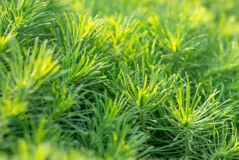 Erba decorativa verde della pianta, fondo, struttura Ornamentale di cyparissias dell'euforbia perenne nel giardino o nel parco di fotografia stock