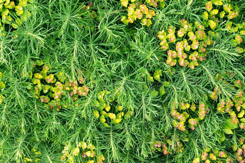 Erba decorativa verde della pianta, fondo, struttura Ornamentale di fioritura di cyparissias dell'euforbia perenne nel giardino d immagini stock libere da diritti