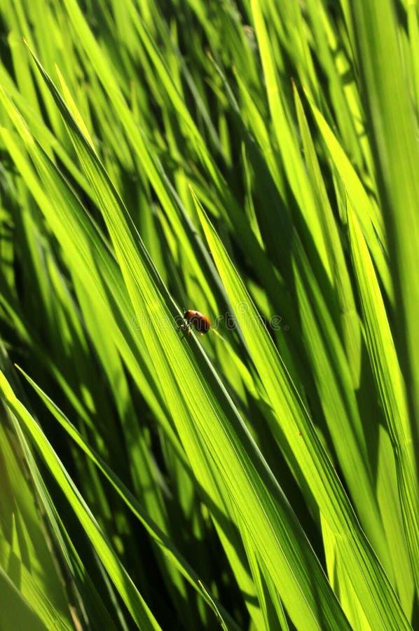 Erba del campo con il piccolo insetto fotografie stock