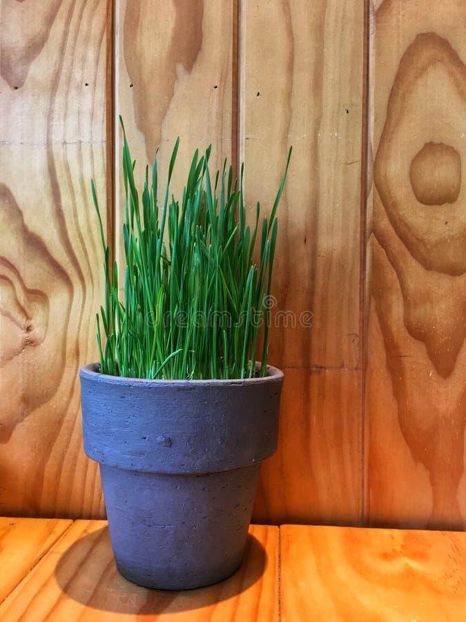 Erba del grano in vaso ceramico fotografie stock libere da diritti