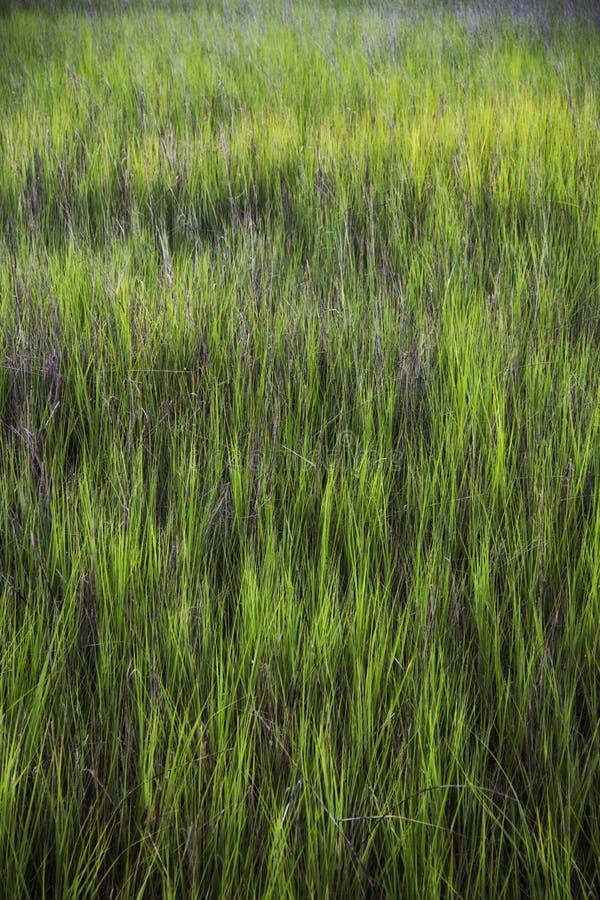 Erba del mare a Shem Creek in supporto Carolina del Sud piacevole immagini stock