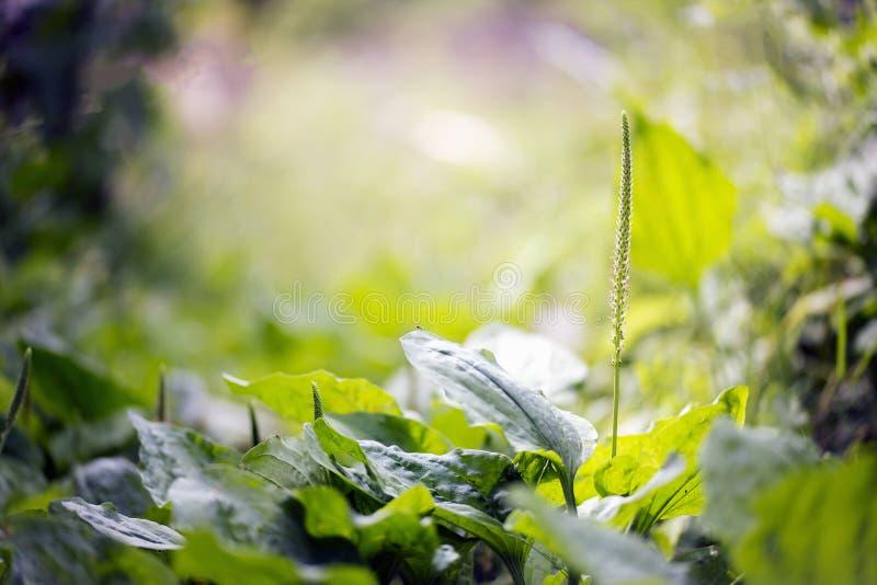 Erba del plantano e la sua fioritura fotografia stock libera da diritti