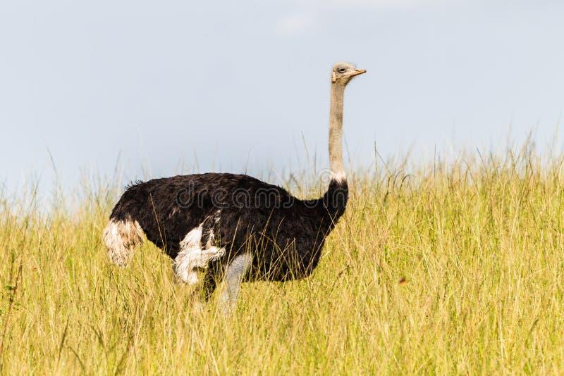 Erba dell'uccello dello struzzo della fauna selvatica immagine stock