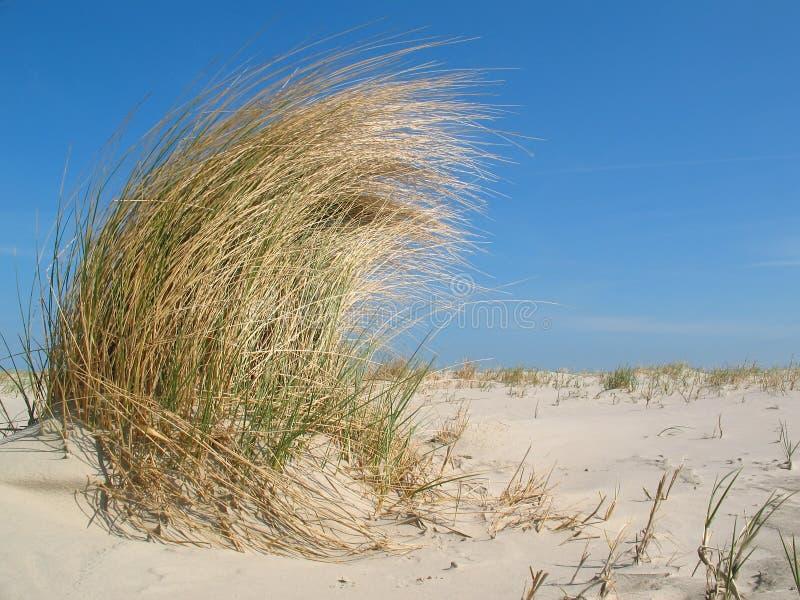 Erba della duna nel vento immagini stock libere da diritti