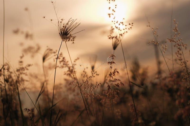 Erba della siluetta prima del tramonto immagini stock