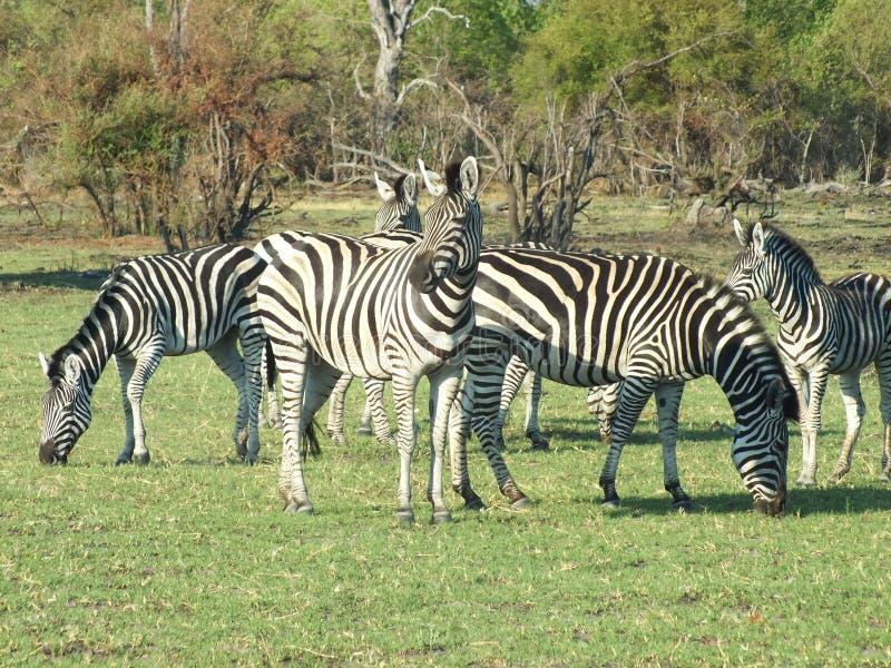 Erba della zebra Sudafrica fotografia stock libera da diritti