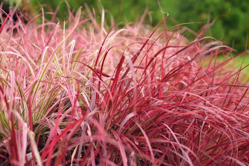 Erba di fontana rossa variegata fotografia stock