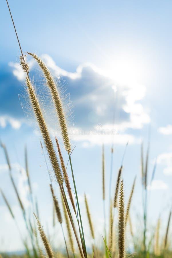 Erba di lemma quella luce del sole che splende dietro con il blu luminoso SK immagini stock libere da diritti