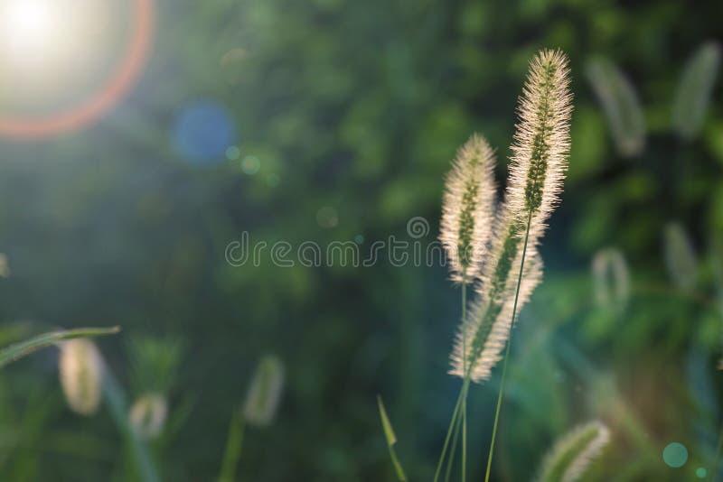 Erba di viridis della setaria nella luce vivida del tramonto immagini stock libere da diritti