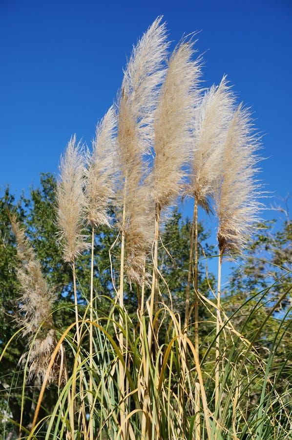 Erba e cielo blu di Reed fotografia stock libera da diritti