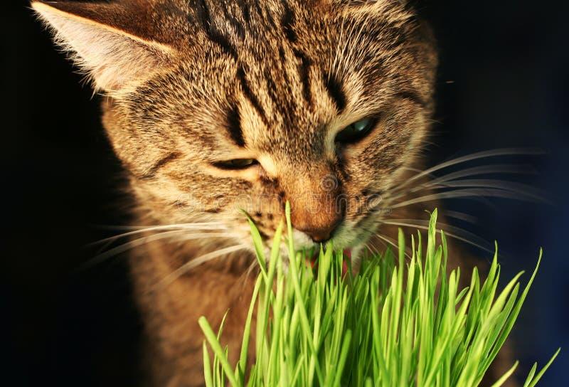 Erba eathing del gatto immagini stock