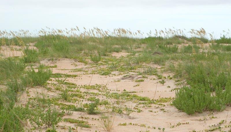 Erba ed edera nelle dune fotografia stock libera da diritti