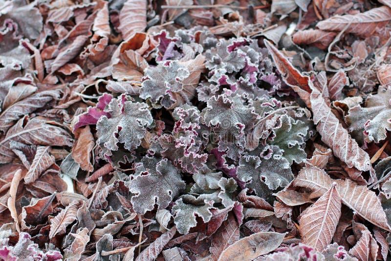 Erba, fiori e foglie quercia, castagna, noce coperta di fine del gelo di mattina su immagine stock libera da diritti