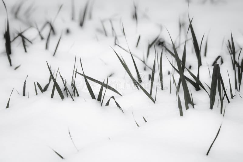 Erba fissare fuori la neve, il modello di motivo, il concetto di sopravvivenza, minimalismo in bianco e nero fotografia stock libera da diritti