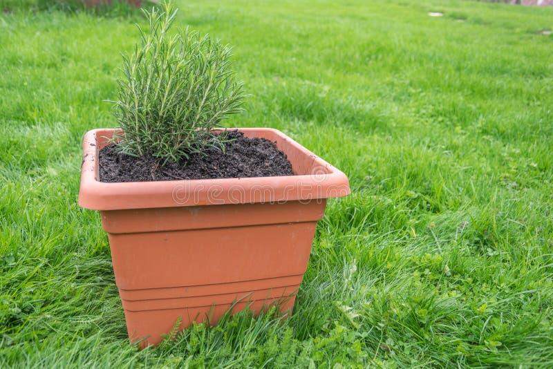 Erba fresca in vaso da fiori di terracotta fotografia stock libera da diritti