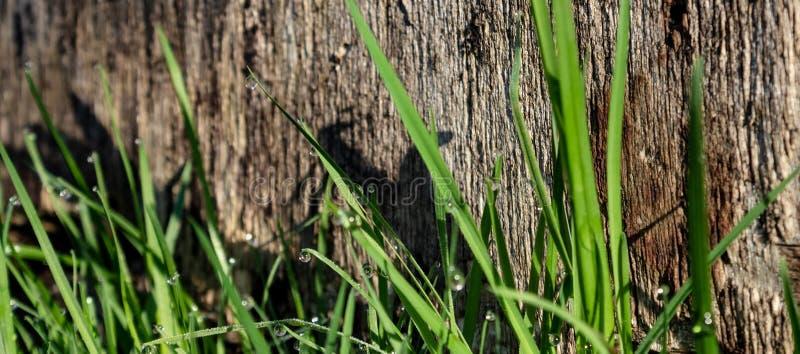 Erba fresca verde sui precedenti di struttura di legno nel giardino, illuminati dai raggi del sol levante immagine stock libera da diritti