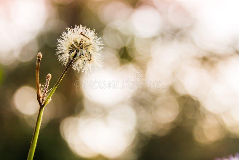 Erba i fiori, fondo del bokeh, uguagliante il tramonto immagine stock
