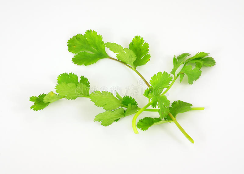 Erba organica del cilantro immagini stock libere da diritti