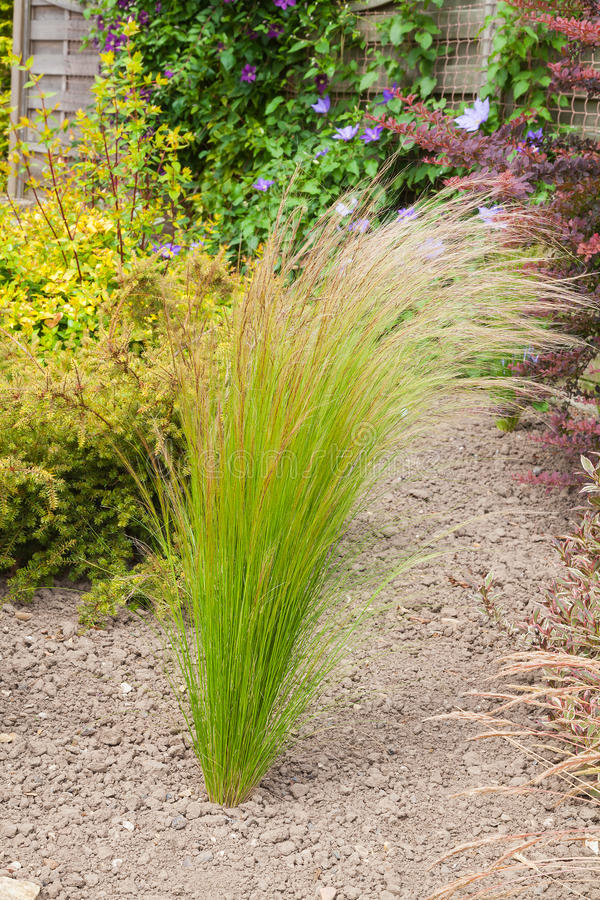 Erba piantata in un giardino arido immagine stock - Erba da giardino resistente ...