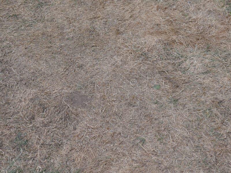 Erba secca ed alcune erbacce in un prato dopo un molto tempo della siccità immagine stock libera da diritti