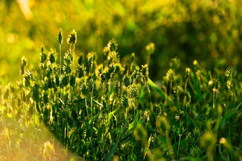 Erba selvatica verde alle luci del tramonto immagini stock libere da diritti