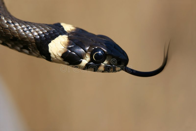 Erba-serpente con la linguetta fotografie stock libere da diritti