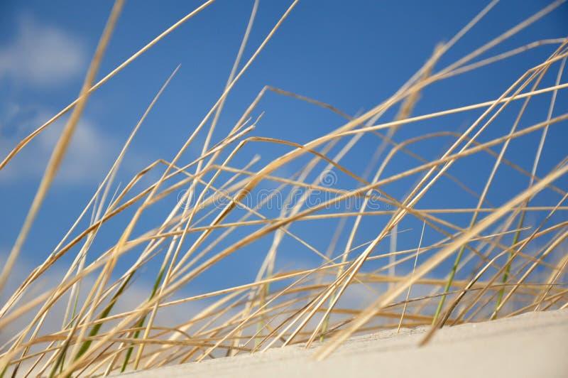Erba su una duna fotografie stock libere da diritti