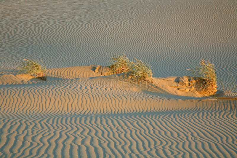 Erba sulla duna. fotografie stock