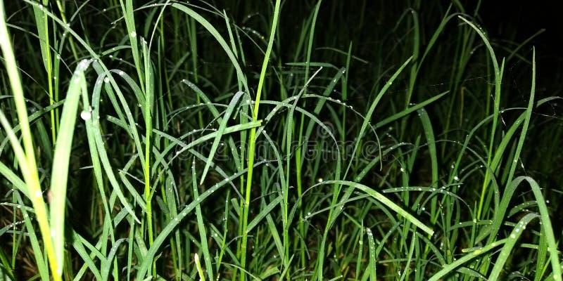 erba sulla terra nella stagione delle pioggie fotografie stock