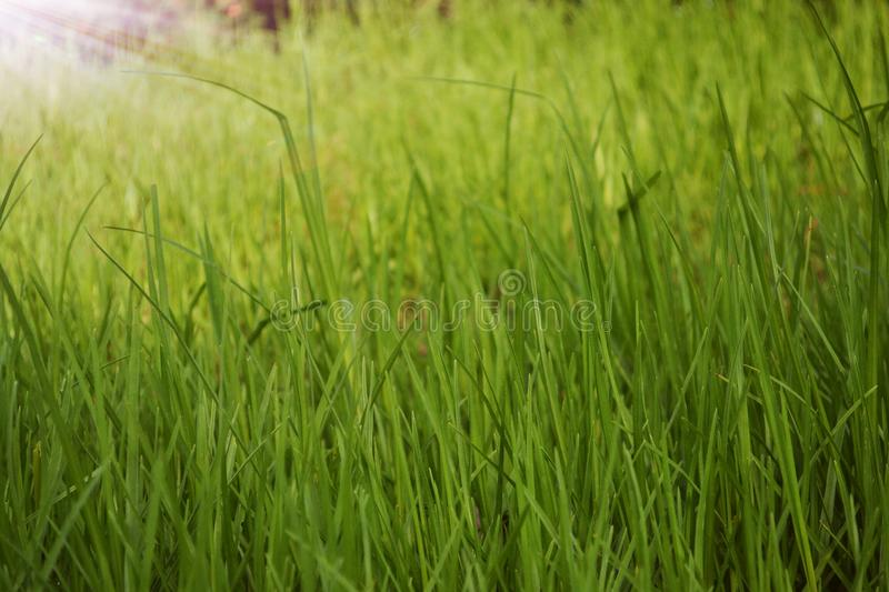 Erba verde alta fotografie stock libere da diritti
