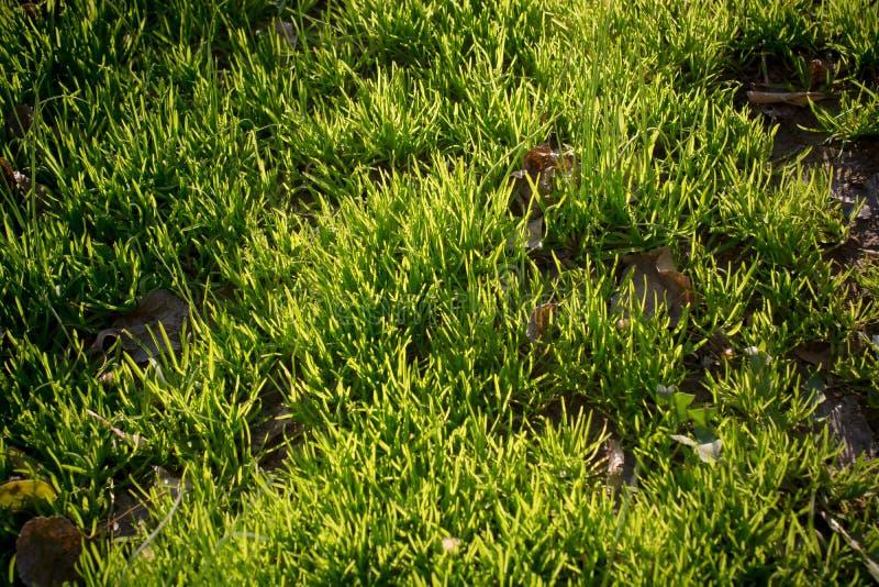 Erba verde come fondo verde immagini stock libere da diritti