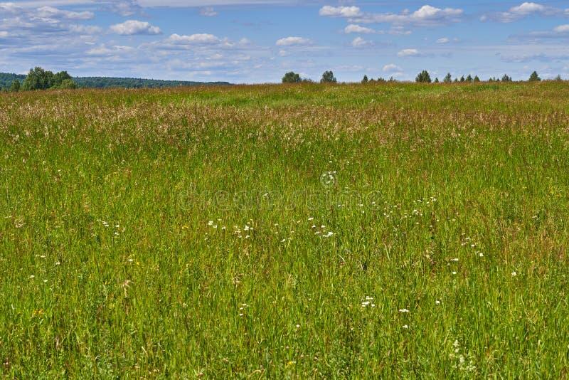 Erba verde con i fiori sul campo per i bisogni agricoli immagine stock libera da diritti