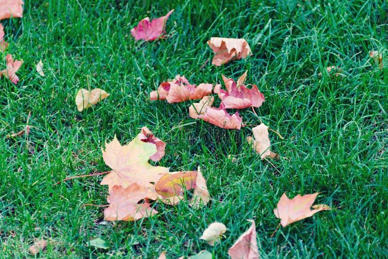 Erba verde con le foglie giallo-rosse di autunno luminoso dell'acero fotografia stock libera da diritti