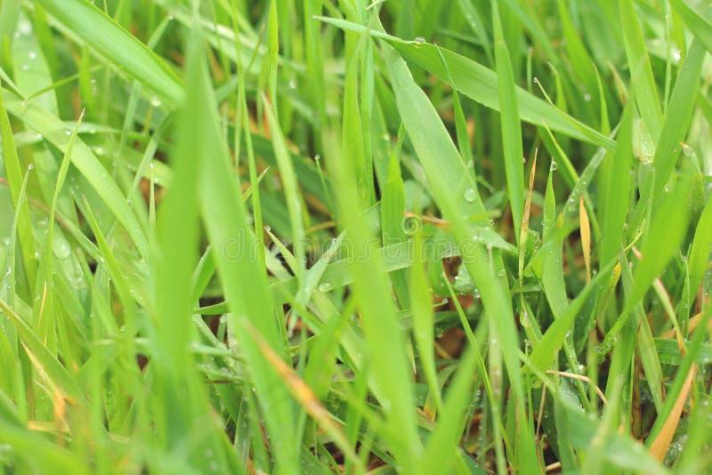 Erba verde con le gocce di rugiada fotografia stock libera da diritti