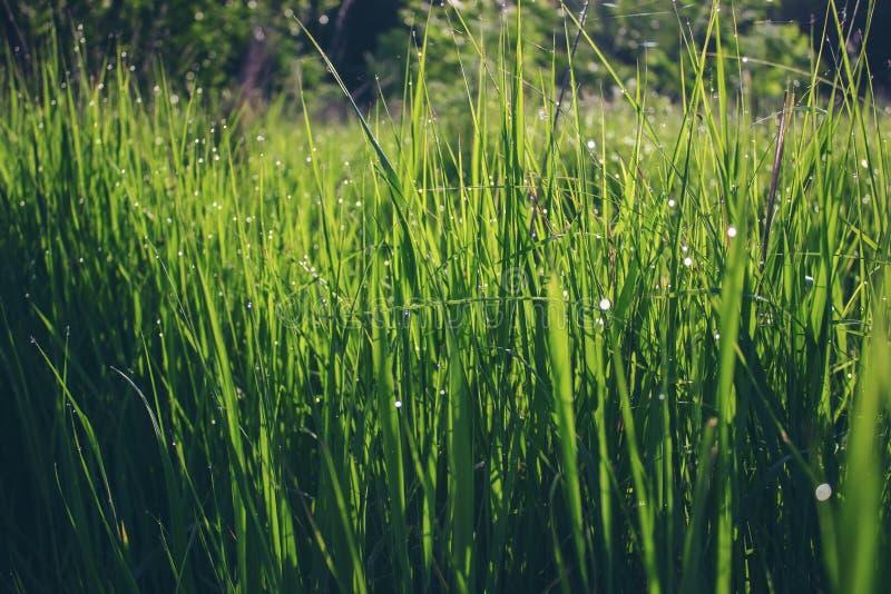 Erba verde con le gocce di rugiada immagine stock